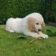 Chiots Golden retriever (parents présents)