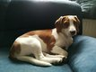 Saillie pour ma Belle Beagle