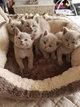 Magnifiques chatons British Shortair