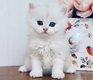 2 magnifiques chatons British pures