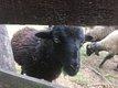 Jeune agneau ouessant sevré et vermifugé