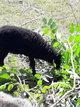 Agneau ouessant male noir(mouton)