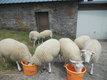 agnelles/agneaux swifter