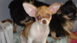 Chiot chihuahua  poil court