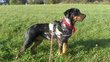 Chiots Beaucerons .