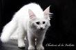 3 magnifiques chatons Norvégiens disponibles