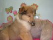 Chiots Colley(lassie)
