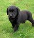 Chiots Labrador noire (testés parents)