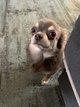 Chihuahua mâle 8 mois