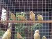20 Jeunes canaris de l'année