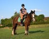 Badger, Hongre irish Cob baie, 3 ans, super gentil