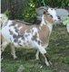 Chèvre et boucs nains