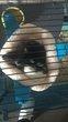 Deux rattes à donner