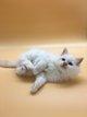Superbes chatons crème tabby 1 m et 2 f...