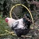 Animaux de ferme / Poule - Coq noire et blanche