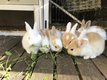 Jeunes lapins