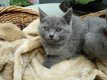 Chartreux - chatons disponibles  M / F.-...