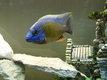 4 Protomelas Steveni Taiwan reef