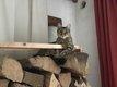 Disparu chatte tigrée style Bengale region...