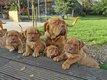 Magnifiques chiots dogues de Bordeaux