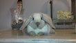 Jeunes lapins nain bélier