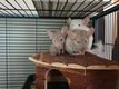 A adopter bébés chinchillas