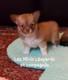 Nichée de chiots Chihuahuas à poils longs
