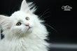 Magnifiques chatons Norvégiens
