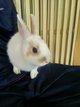 Jeune lapin nain 3 mois