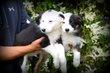 Chiots Border Collie noir blanc
