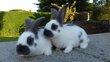 Deux jeunes géants papillon francais blanc lignés...