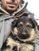 Superbe chiots Berger allemand pure race