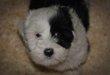 Superbes chiots Terrier Tibetain