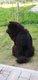 Jeune chow-chow [cherche] demoiselle