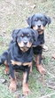 Chiots Rottweiler Disponible