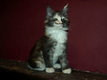 Superbe chaton maine coon