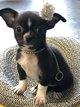 Vendue    mini Chihuahua