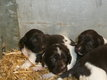 Chiots munsterlander