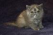 Superbes chatons exotics à réserver