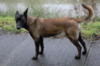 Berger malinois femelle 8 semaines disponible