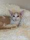 Deux Superbes chatons Orientaux