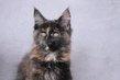 3 Adorables chatons Maine-Coon pédigrée