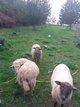 Brebis et agneaux