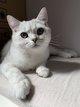 Femelle British Shorthair Black Silver tabby...