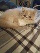 2 magnifiques chatons Persan