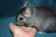 Bébé chinchilla mâle