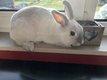 Petite lapine blanche nez et oreilles gris clair