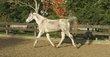 Petit cheval de loisir