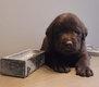 Magnifiques chiots labradors chocolat