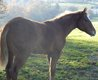Superbe pouliche paint horse sorrel overo minimum
